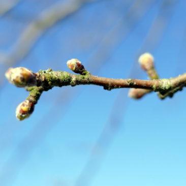 Frühlingsknospen 1