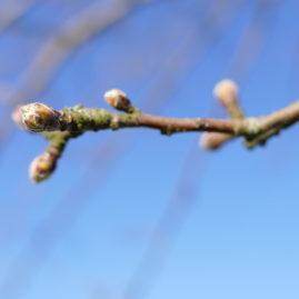 Malus floribunda - Japanischer Wildapfel 3