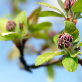 Blattaustrieb beim Malus floribunda
