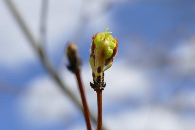 Blattknospe des Acer griseum öffnet sich