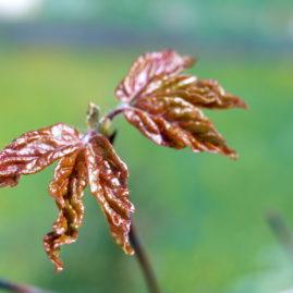 Acer griseum - Zimtahorn 2