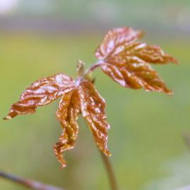 Acer griseum - Zimtahorn 3