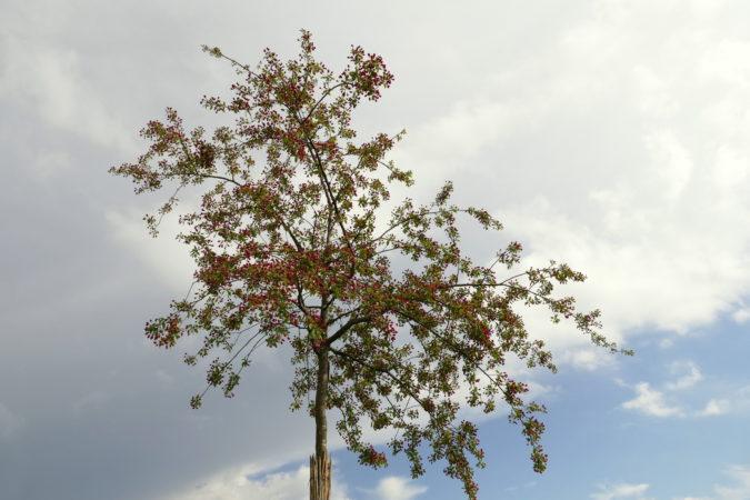 Krone des Malus floribunda - Blüten kurz vor dem Öffnen