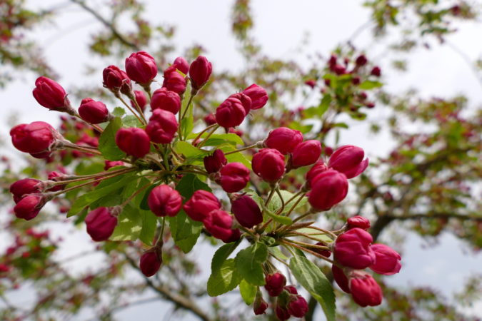 Malus floribunda - Blüten kurz vor dem Öffnen