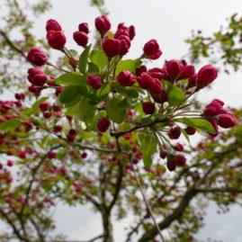 Blüten kurz vor dem Öffnen