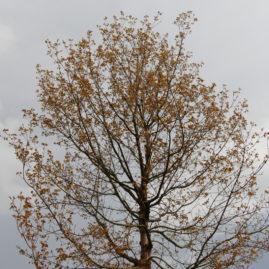 Die Blätter entfalten sich langsam