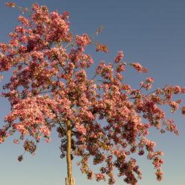 Malus floribunda - Japanischer Wildapfel 1