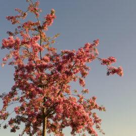 Malus floribunda - Japanischer Wildapfel 2