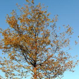 Acer griseum - Zimtahorn 1