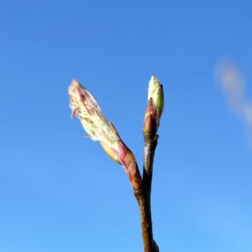 Amelanchier lamarckii Knospen kurz vor der Blüte