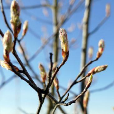 Frühlingsknospen 2