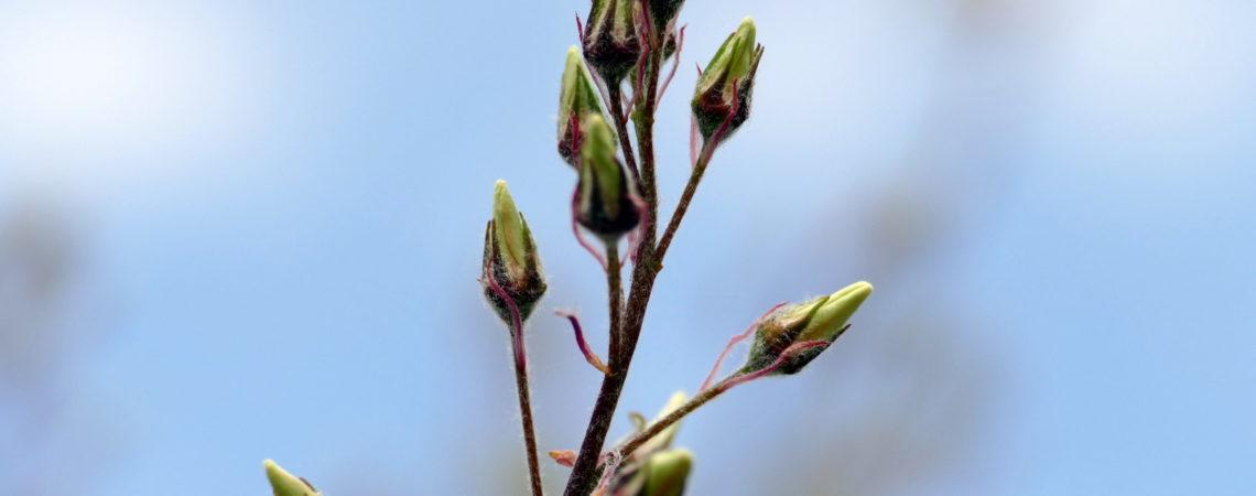 Blüte Amelanchier lamarckii