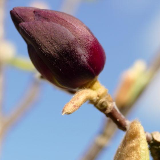 Magnolie Genie geschlossene Blüte
