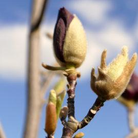 Magnolia Genie 1