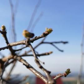 Die Knospen einer Birnenquitte im Frühling