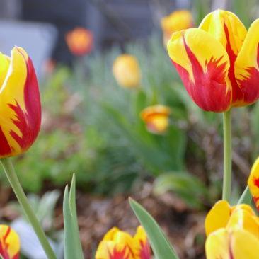 Tulpenblüte 6