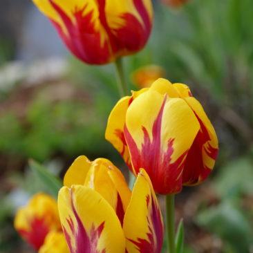 Tulpenblüte 5