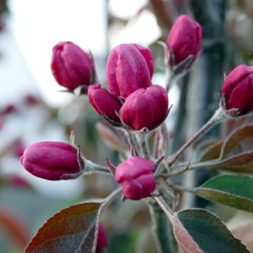 Blütenknospen Malus royalty