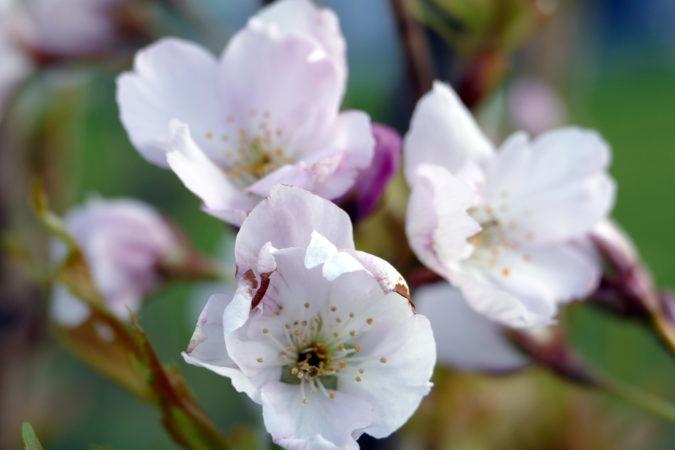 Blüte der Säulenkirsche Amanogawa