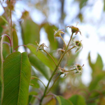 Amelanchier Blütenstempel nach dem Frost