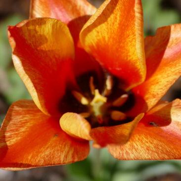 Tulpenblüte 9