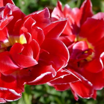 Tulpenblüte 13