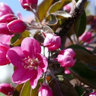 Blüte Malus royalty