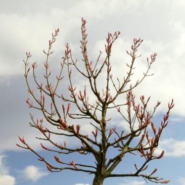 Krone des Acer pseudoplatanus Brilliantissimum