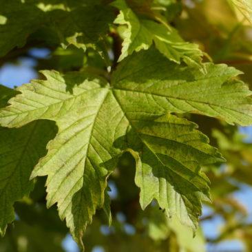 Acer pseudoplatanus Brilliantissimum - Berg-Ahorn 1