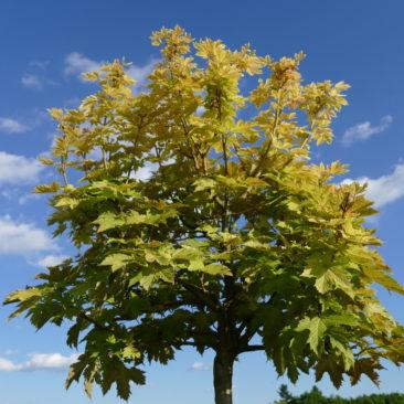 Acer pseudoplatanus Brilliantissimum - Berg-Ahorn 2