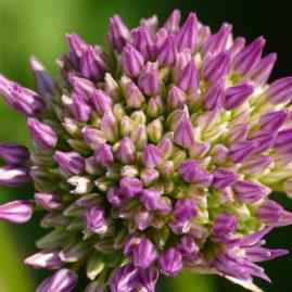 Allium globemaster - Zierlauch 5