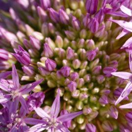 Allium globemaster - Zierlauch 4