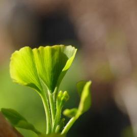 Ginkgo biloba tremonia - Säulenginkgo 1