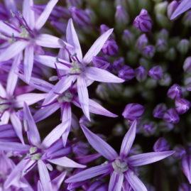 Allium globemaster - Zierlauch 1