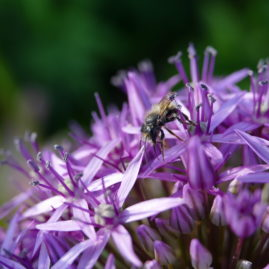Allium globemaster - Zierlauch 2