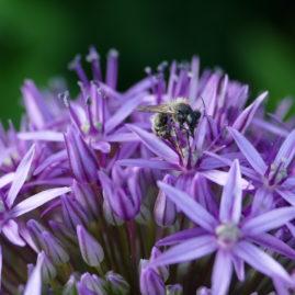 Allium globemaster - Zierlauch 3