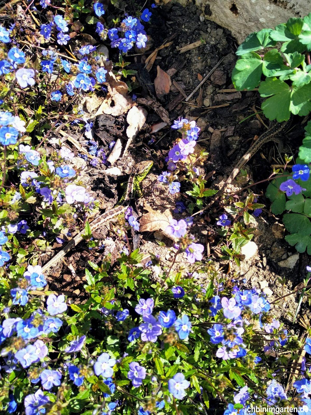 Eidechsen in der Trockensteinmauer 1