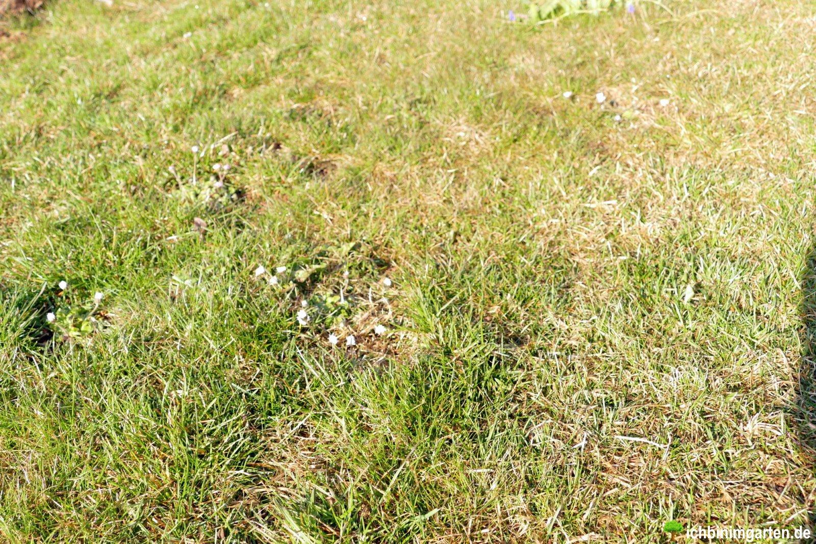 Rasen in Kräuterrasen umwandeln 2