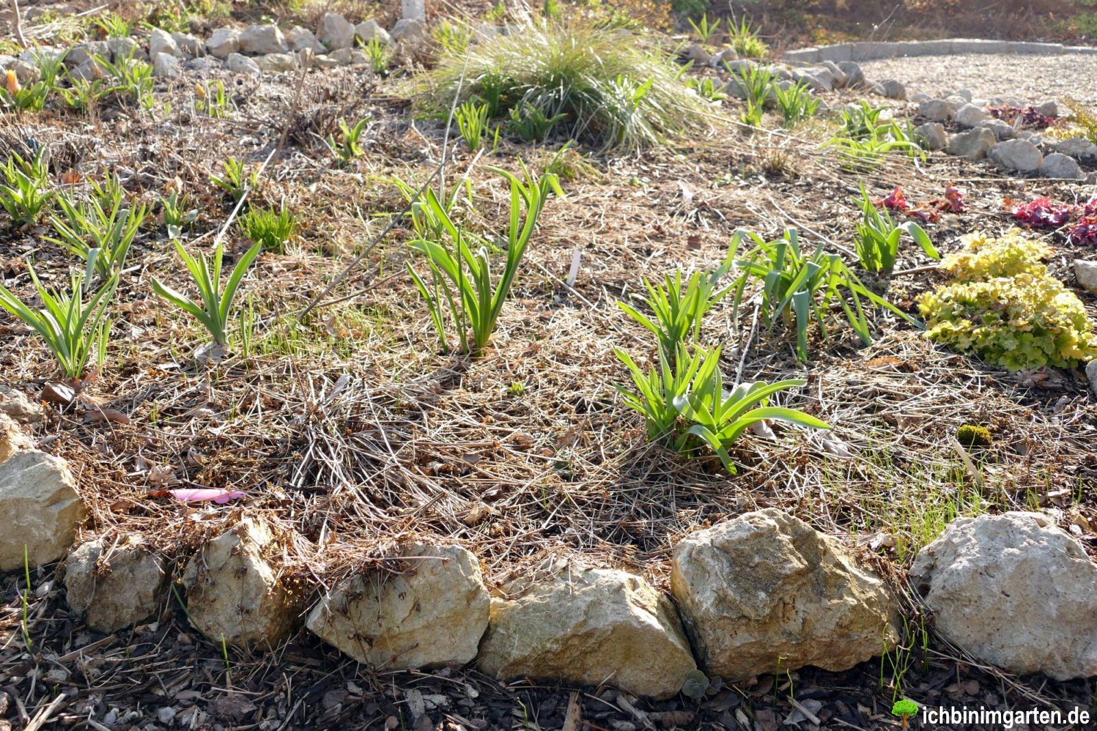 Rasen in Stauden- Mischpflanzung umwandeln 1
