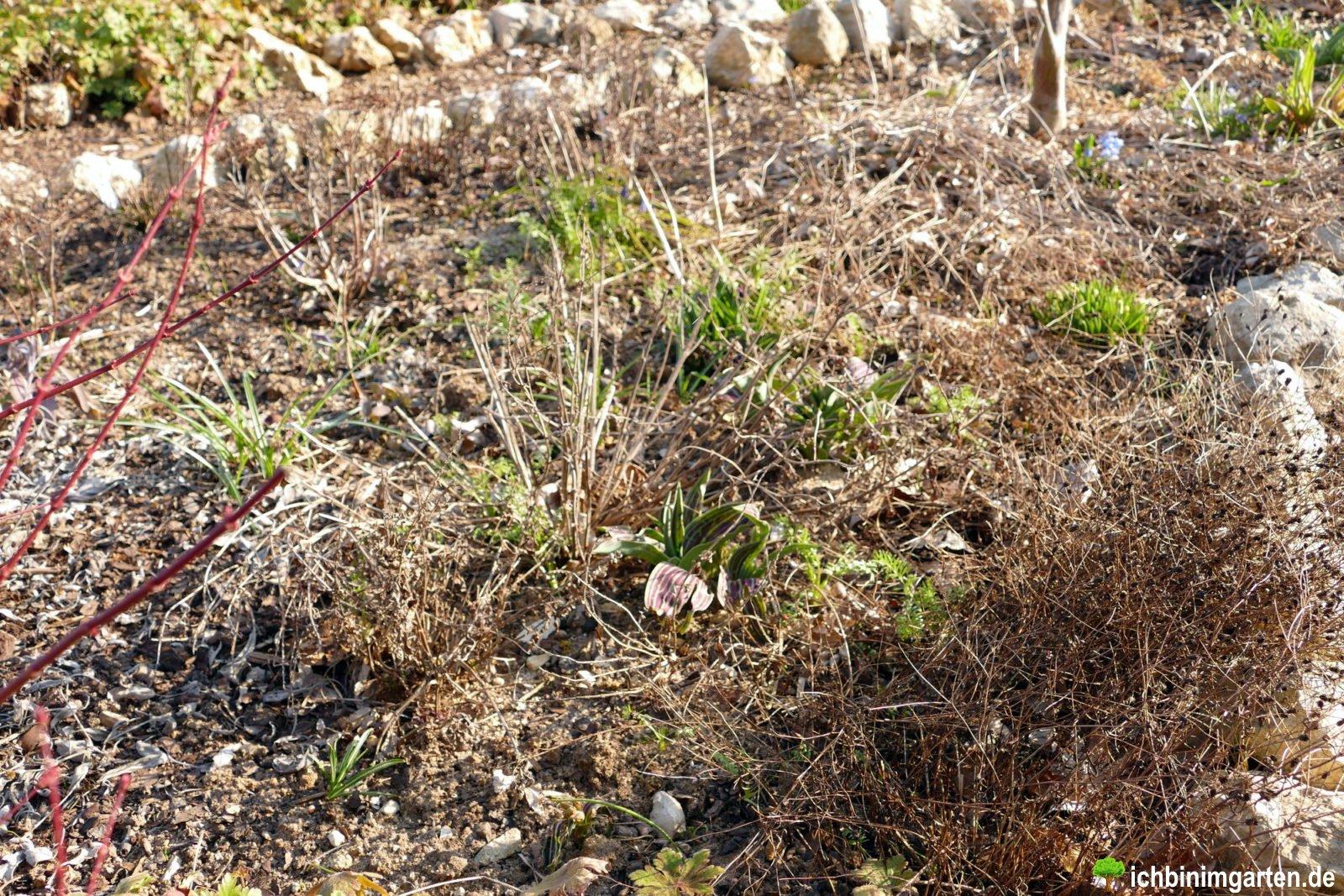 Rasen in Stauden- Mischpflanzung umwandeln 2