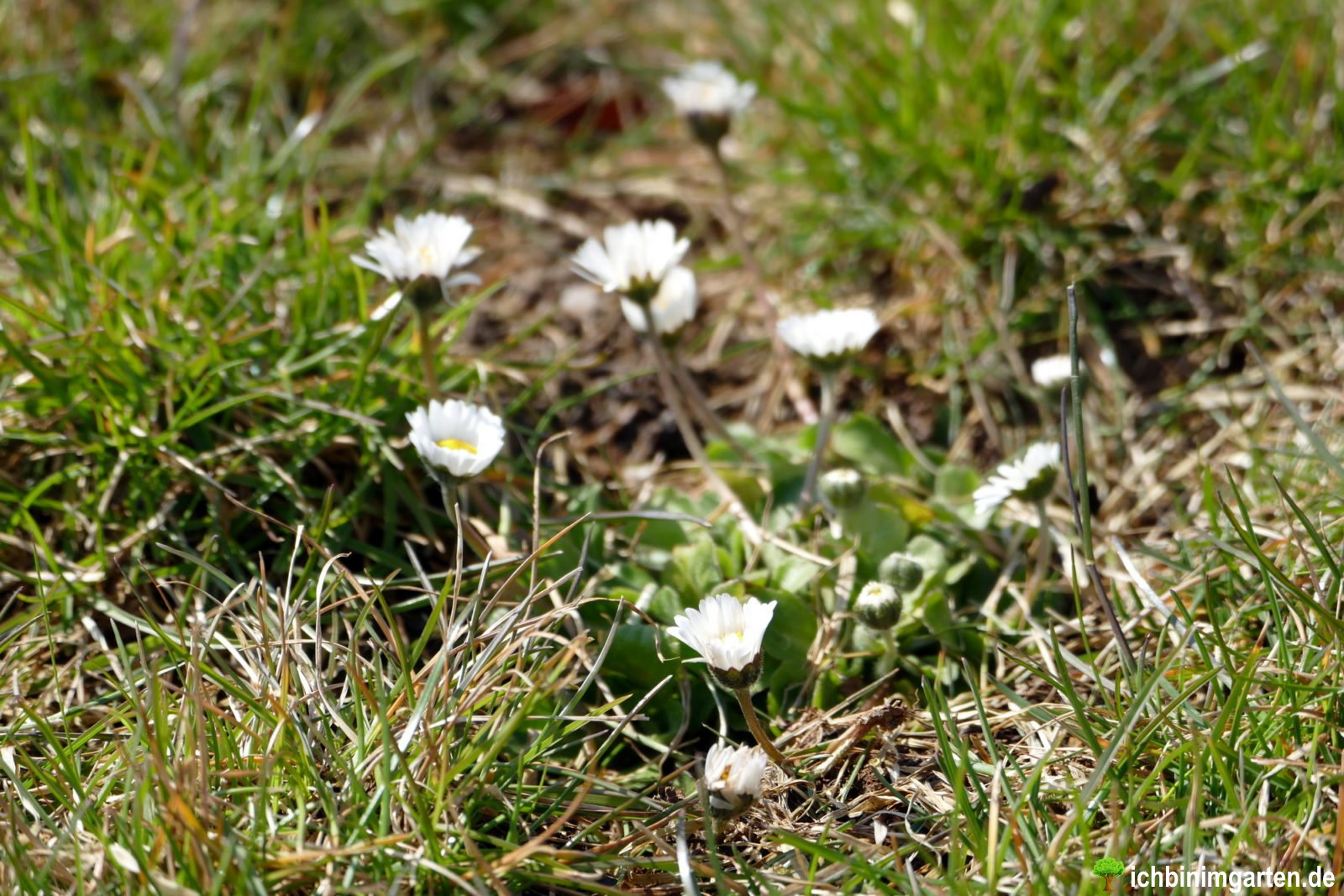 Rasen in Kräuterrasen umwandeln 3