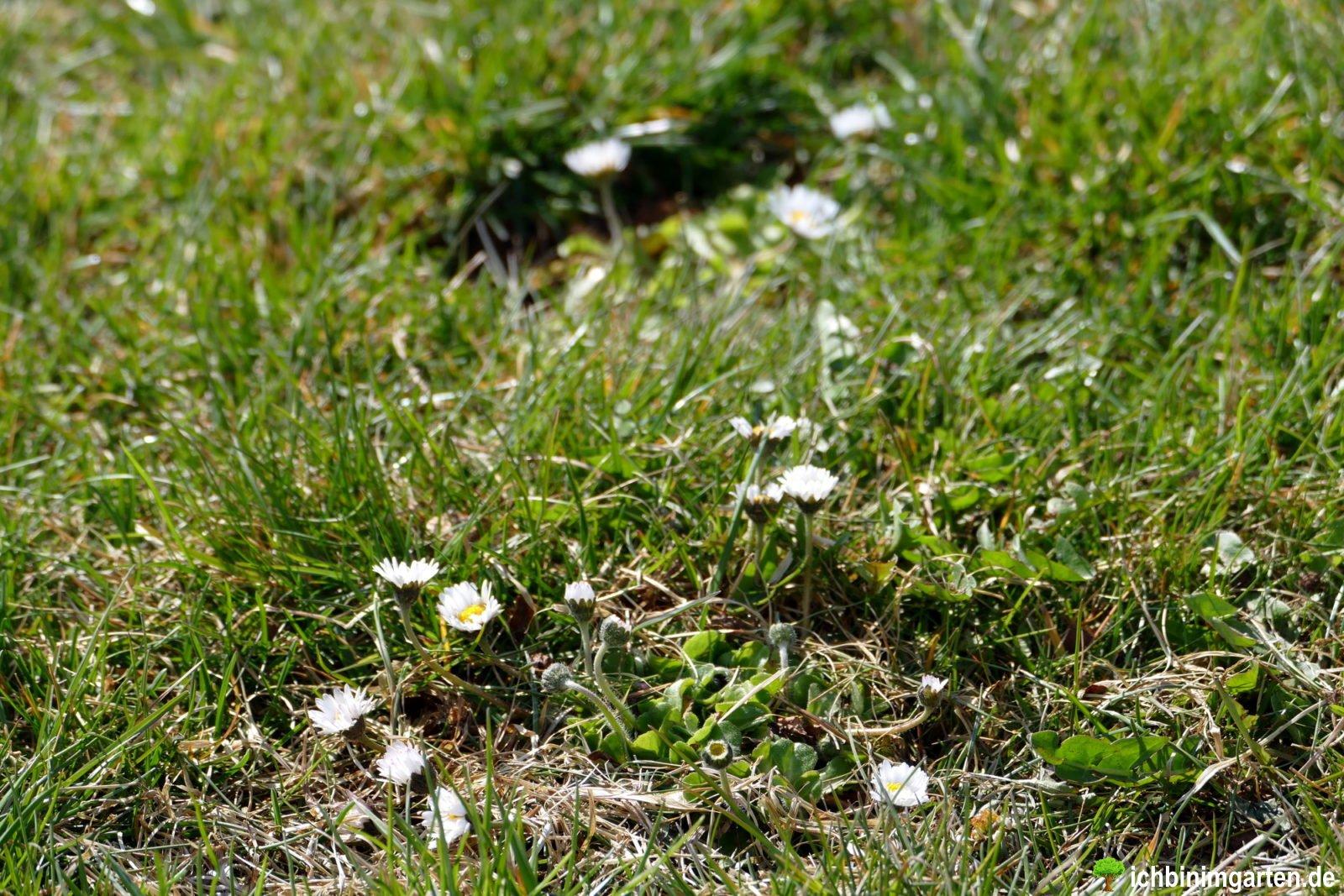 Rasen in Kräuterrasen umwandeln 4