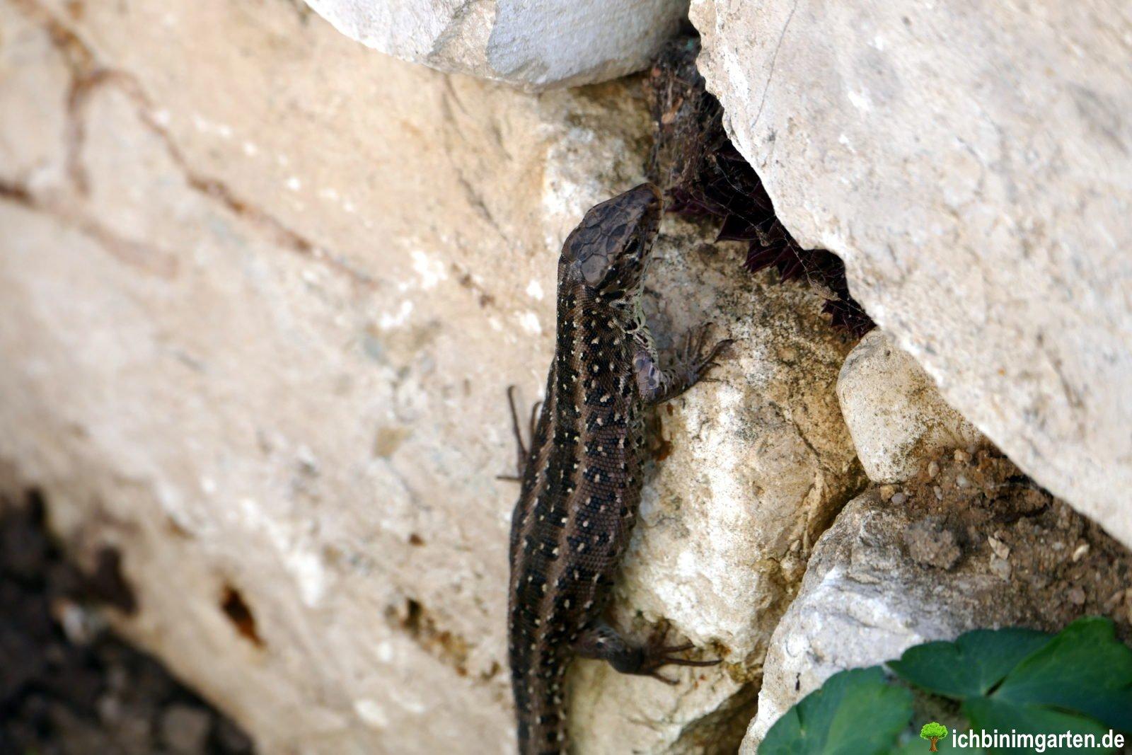 Eidechsen in der Trockensteinmauer 3