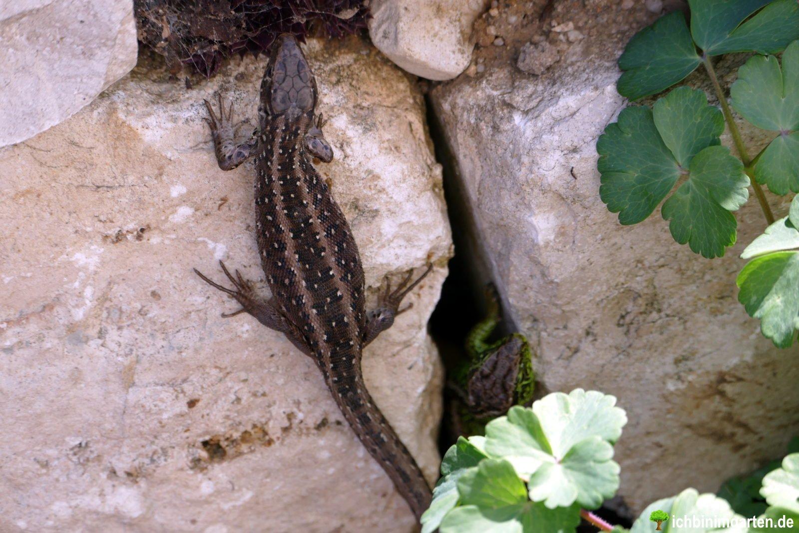 Eidechsen in der Trockensteinmauer 4