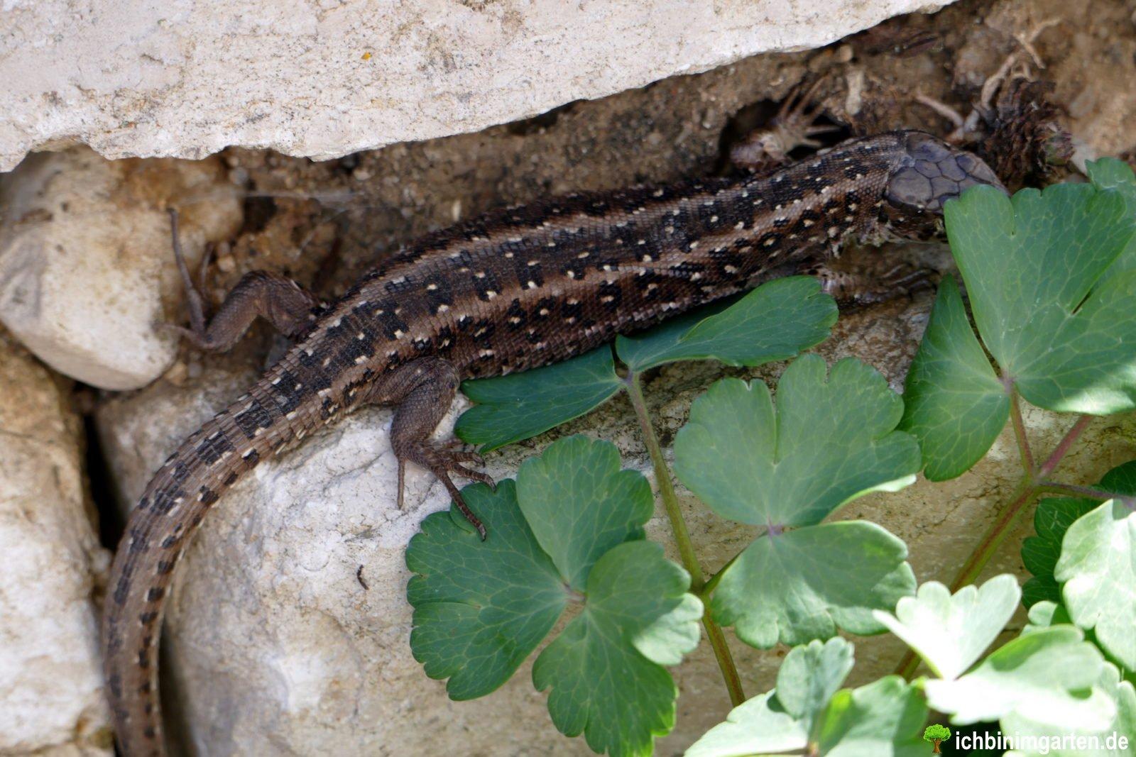 Eidechsen in der Trockensteinmauer 5