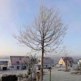 Acer griseum - Zimtahorn 6