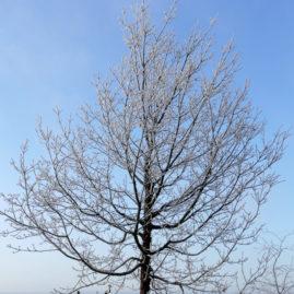 Acer griseum - Zimtahorn 7