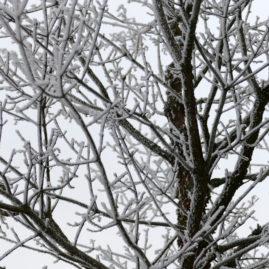 Acer griseum - Zimtahorn 9