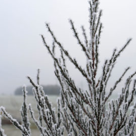 Juniperus scopulorum Blue Arrow - Raketenwacholder 1