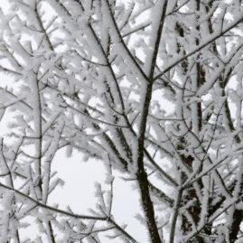Acer griseum - Zimtahorn 5